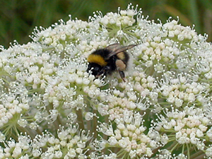 bumblebee on what might be scots lovage