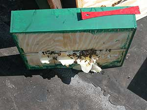 colony 2 brace comb on feeder