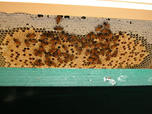 colony 1 capped brood