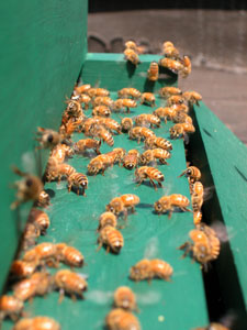bees at entry