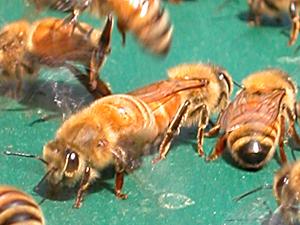 house bee