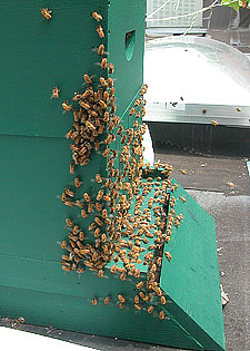 honeybees fanning