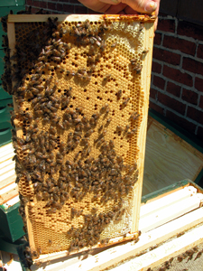 beautiful pattern of capped worker bee brood