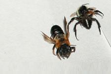 closeup of big bee