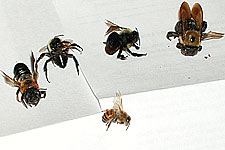 comparing native bees