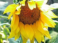 bee working sunflower