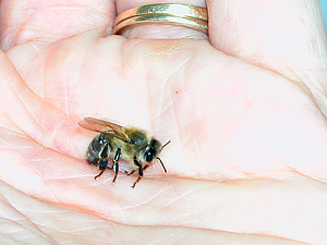 dying bee in my hand
