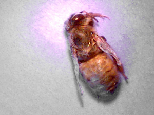 bee with parasitic mite syndrome