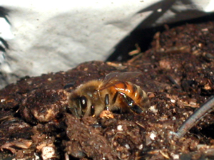 bee sucking dirt