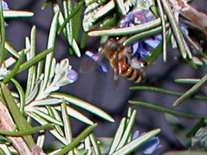 honeybee in rosemary