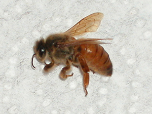 Princess Joan, deceased virgin queen bee