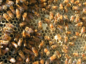 a few capped worker brood cells