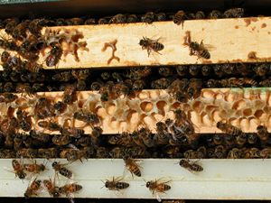 beeswax bridge above brood nest