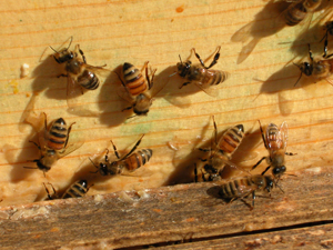 bees in the feeder