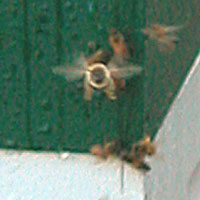 bee flying head on