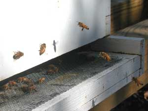bees landing at MaryEllen entrance