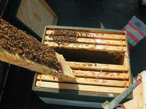 twain bees festooning on brood