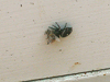 daring jumping spider takes bee