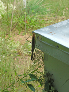 praying mantis on bee hive