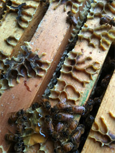 lederer bees eating honey drips between boxes