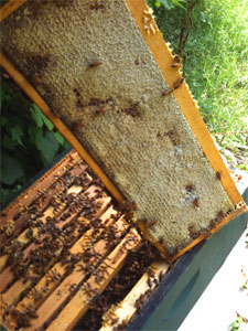 lederer capped honey frame