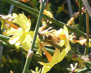 bee on wilty forsythia