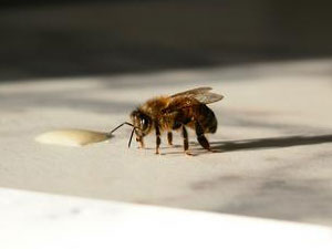 MaryEllen's Beautiful Honeybee photo