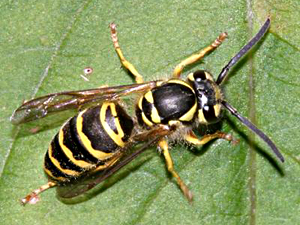 Vespula maculifrons copyright tom murray